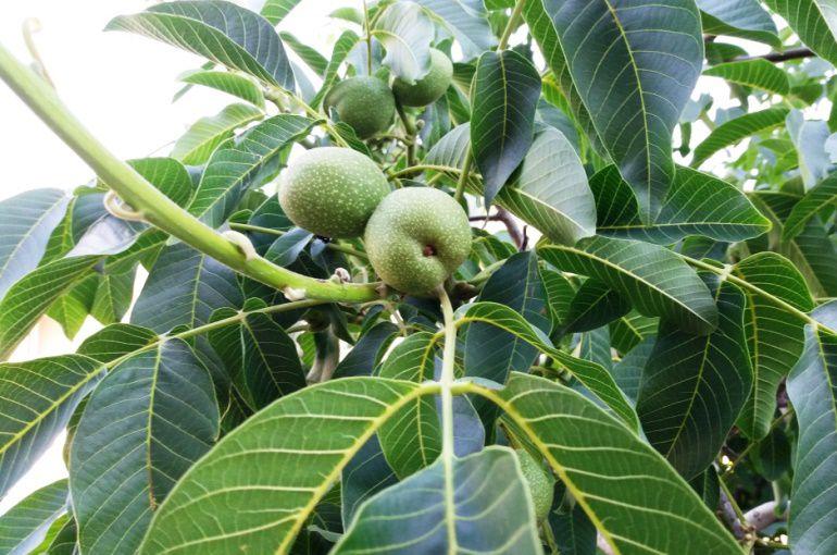 درخت گردو اسراییلی
