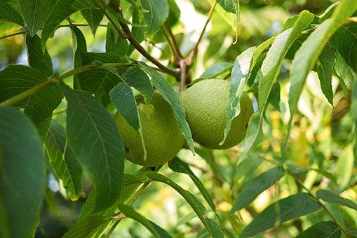 کاشت درخت گردو خوشه ای