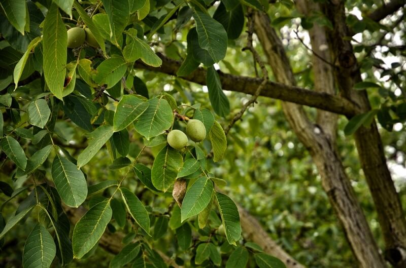 عمر درخت گردو اسرائیلی